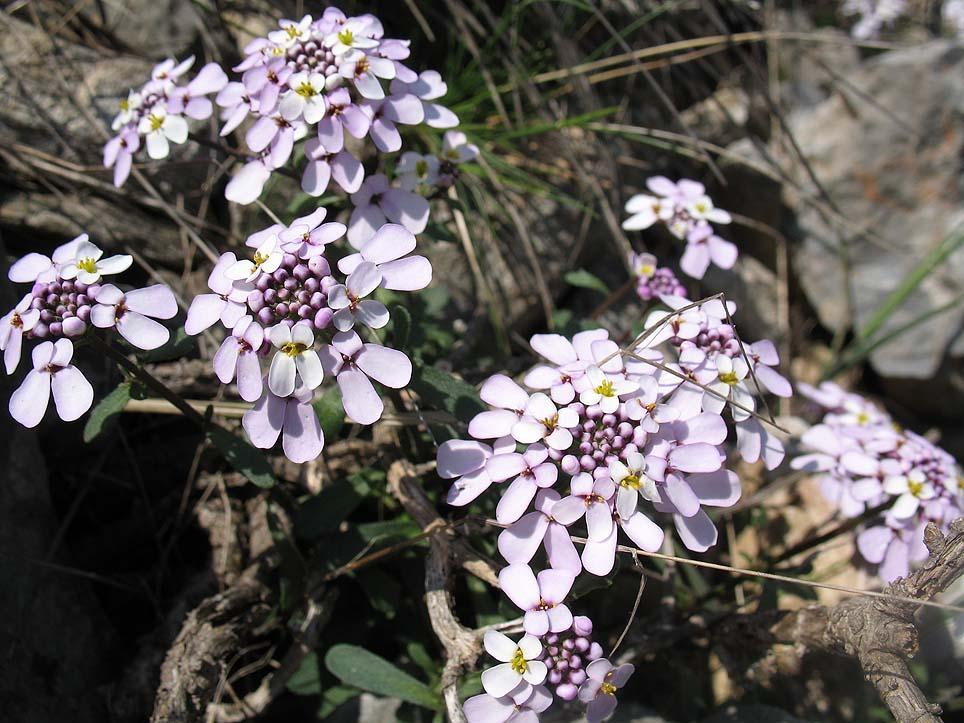 kerti tatárvirág