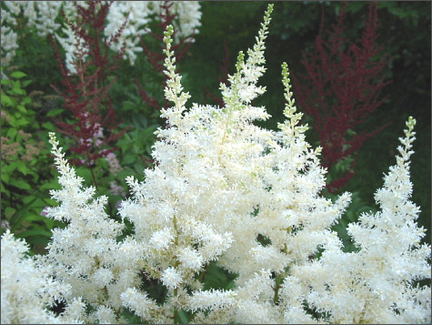 astilbe x arendsii rock and roll