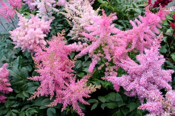 astilbe x arendsii showstar