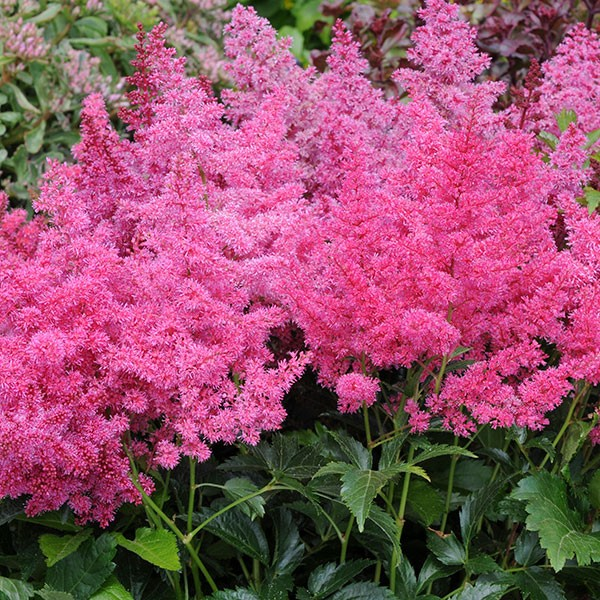 astilbe x arendsii astary rose