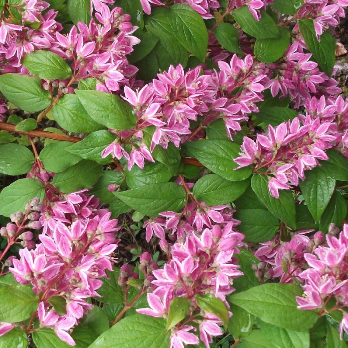 Deutzia Tourbillon Rouge