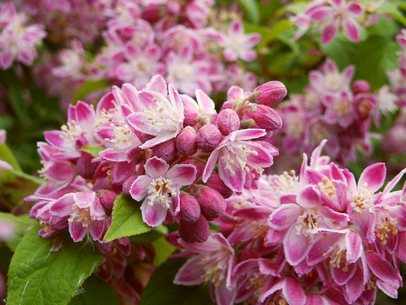Deutzia hybrida Strawberry Fields