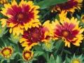 Egynyári virágok E-G