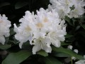 Rododendron (Cunninghams White)