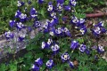 Aquilegia vulgaris Winky Blue and White (Harangláb)