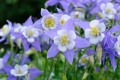 Aquilegia caerulea Blue and White (Kék harangláb)