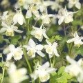 Aquilegia caerulea Spring Magic White (Kék harangláb)