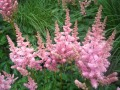 Astilbe chinensis Vision in Pink (Kínai tollbuga)