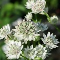 Nagy völgycsillag (Astrantia major Star of Billion)