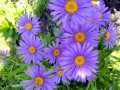Aster alpinus Light Blue (Havasi gerebcsin)